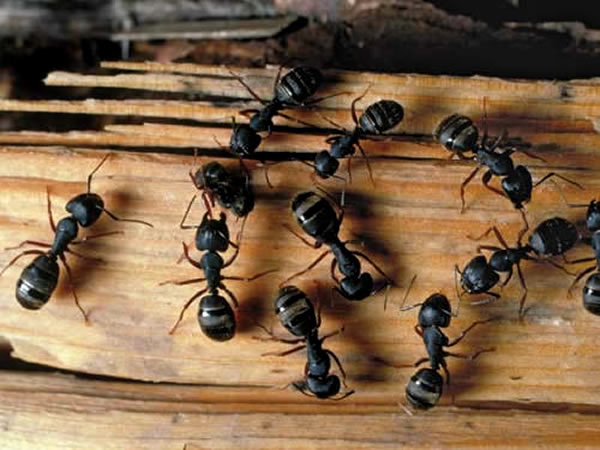 Carpenter ants on a piece of wood