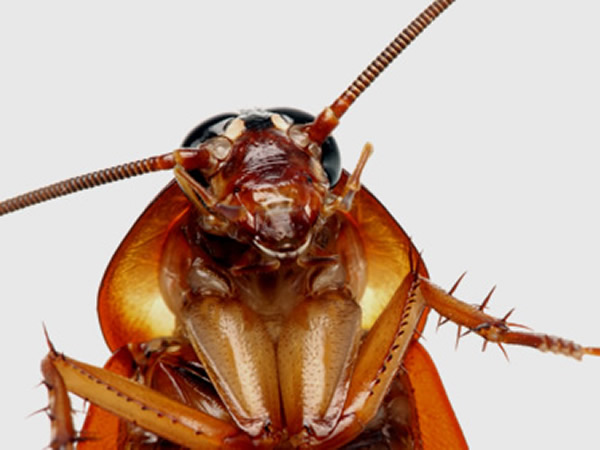 Close up of a cockroach facing the camera